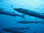 Barracuda3_071225_1