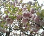 Sakura_080420