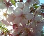 Sakura_0703010