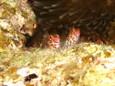 ヒメゴンベ in 一の瀬ドロップ