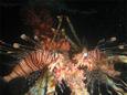 鏡の中のハナミノカサゴ in 沈船